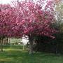 Pink_blossom5_2010