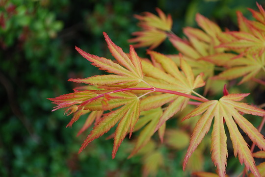 Out and glowing......Acer (Acer palmatum (Japanese maple) Orange Dream)