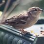 Sparrow_girl
