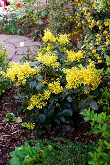 Mahonia in all her glory.... (Mahonia aquifolium (Oregon grape))