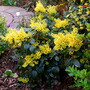 Mahonia in all her glory.... (Mahonia aquifolium (Oregon grape))