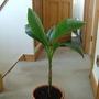 bannana plant