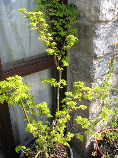 Shishigashira Acer 2010