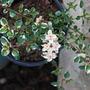 Thyme (Thymus Foxley)