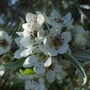 Blossom on the weeping pear tree. (Pyrus salicifolia)