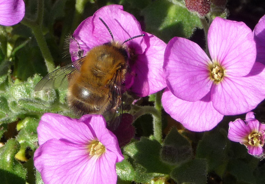 Carder bee in aubretia.