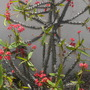 Euphorbia millii  - Crown-of-thorns blooming  (Euphorbia millii  - Crown-of-thorns blooming)