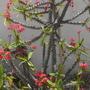 Euphorbia millii  - Crown-of-thorns blooming  (Euphorbia millii  - Crown-of-thorns blooming)