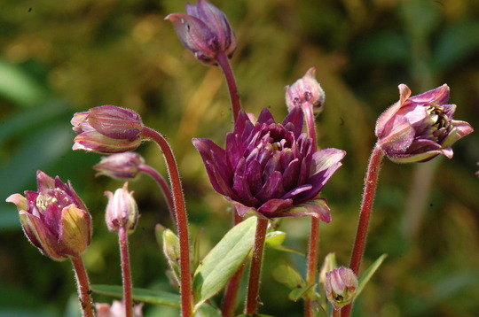 Aquilegia 'Clementine Dark Purple'