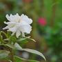 Gardenia (Gardenia)