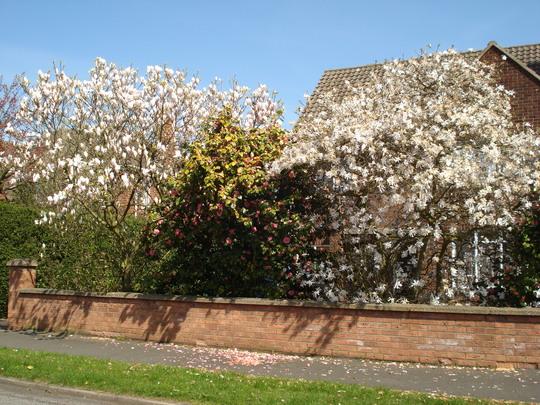 Magnolias and Camellia