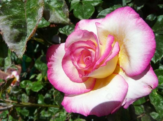 Handel Climbing Rosebush