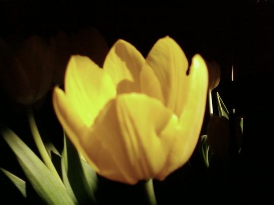 Tulipa amarilla
