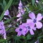 Phlox_subulata_purple_beauty_