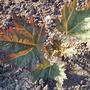 Rheum Tanguticum (Rheum palmatum (Chinese rhubarb))