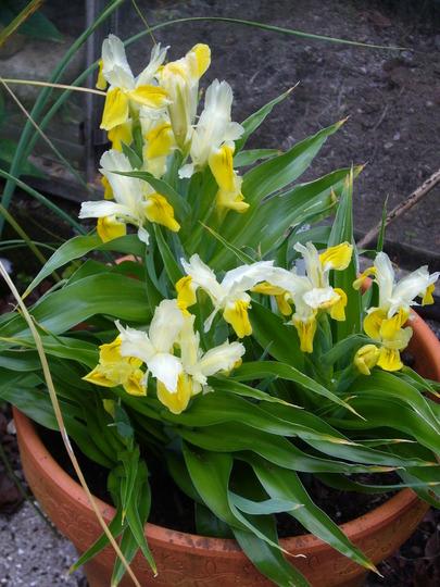 lots of flowers I. bucharica (Iris bucharica (Iris))