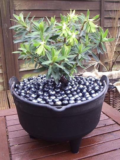 "Euphorbia characias ""Black Pearl"""