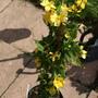 Kerria Golden Guinea (Kerria japonica)