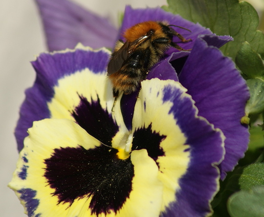 Pansy with Bee (Pansy)