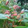 Epimedium x warleyense - 2010 (Epimedium x warleyense)