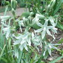 Ornithogalum nutans - 2010 (Ornithogalum nutans)