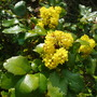 Mahonia aquifolium (Oregon grape)