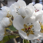 Pear Blossom.......nice.........