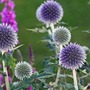 Echinops bannaticus  (Echinops bannaticus (Globe thistle))