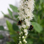 Liatris spicata alba (Liatris spicata alba (Gayfeather))