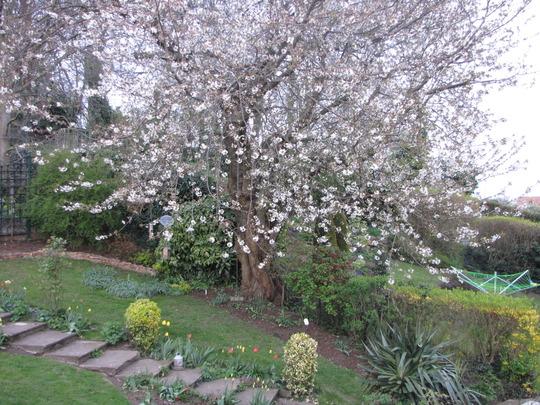 Sour cherry tree (Prunus cerasus (Cherry))