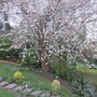 Sour cherry tree (Prunus cerasus (Cherry))