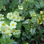 Lamium &amp; Primroses (Lamium galeobdolon (Goldnessel))