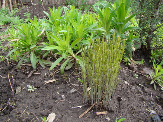 New growth of Asparagus officinalis, a dwarf variety (Asparagus officinalis)