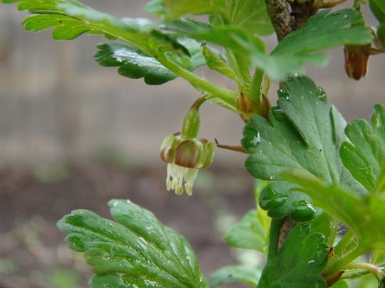 Flower of gooseberry... (Ribes uva-crispa (Gooseberry))
