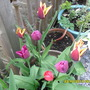 tulips and new crown of rhubarb (behind)