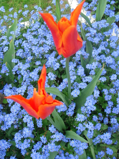 Tulip & Forget Me Nots - April 2008