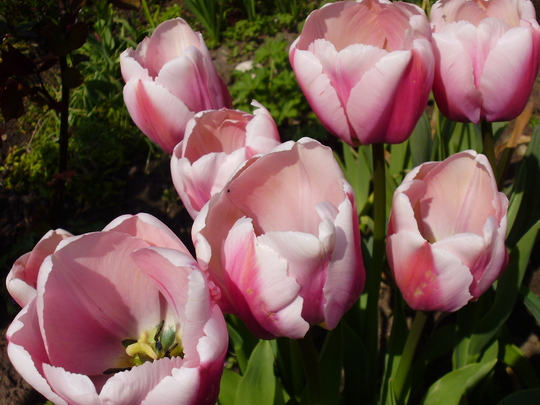 Olloiules (Tulipa Darwin)