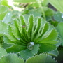 water on concertina (Alchemilla mollis (Lady's mantle))