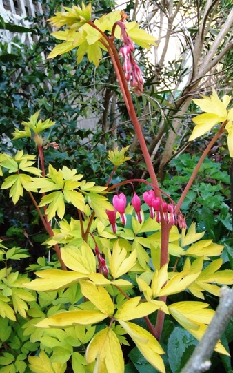 My gold leafed Dicentra.