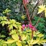 Golden_leafed_dicentra