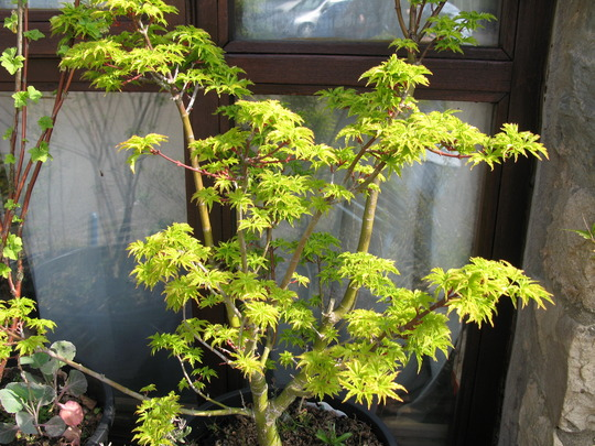 yet more of my prize friend Acer Shishigashirararararararararararara