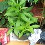Last year's cestrum nocturnum baby plants