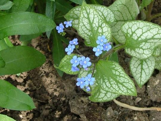 jack frost in flower