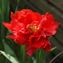 """Double Tulip """"Abba"""" (Tulipa acuminata)"""