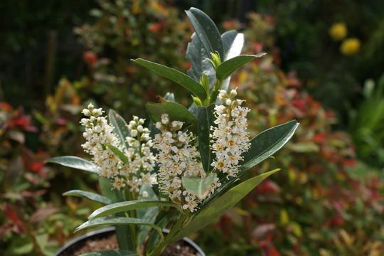 "Prunus ""Otto Luyken "" (Prunus laurocerasus {Cherry Laurel})"