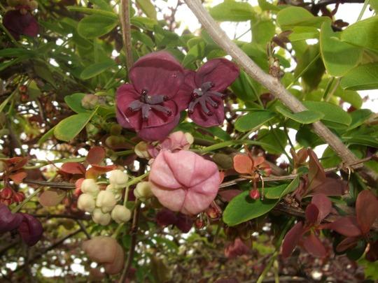 Akebia quinata (Akebia quinata)