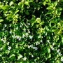 the pachysandra/Japanese Spurge is a taller and denser ground cover... (viola odorata, pachysandra terminalis)