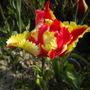 parrot tulip