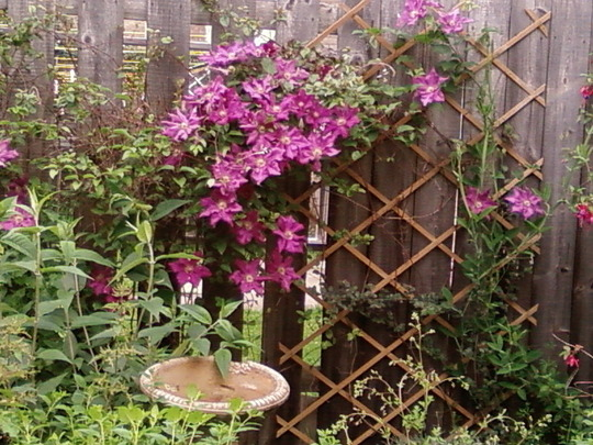 Clematis hanging on for dear life!