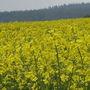 Misty Oil Seed Rape Field